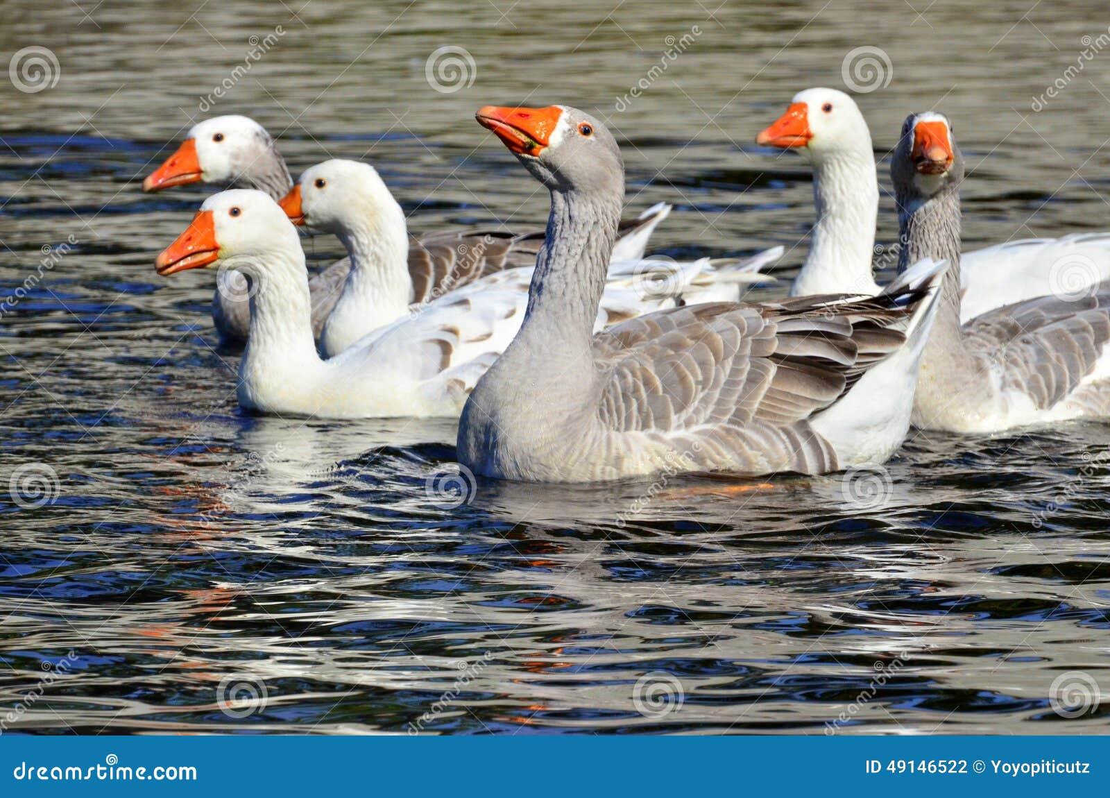 Grupo de gansos