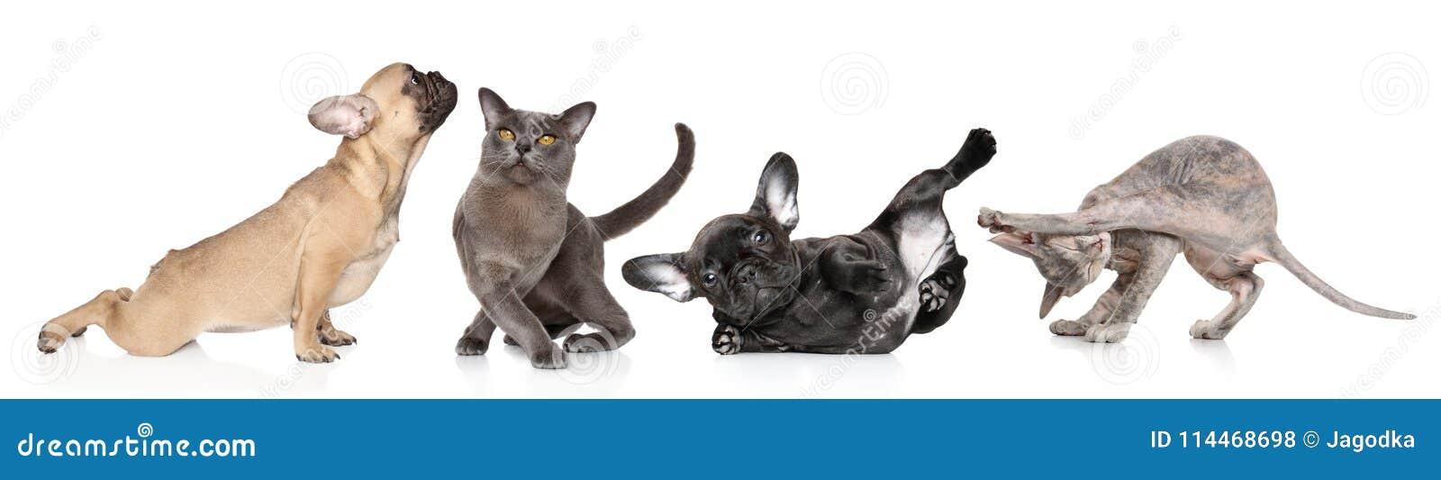 Grupo de gatos e de cães em poses da ioga