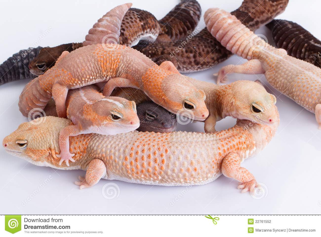 Grupo de geckos Fat-tailed