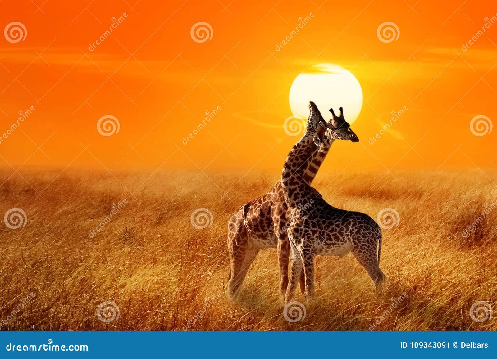 Grupo de girafas contra o por do sol no parque nacional de Serengeti África