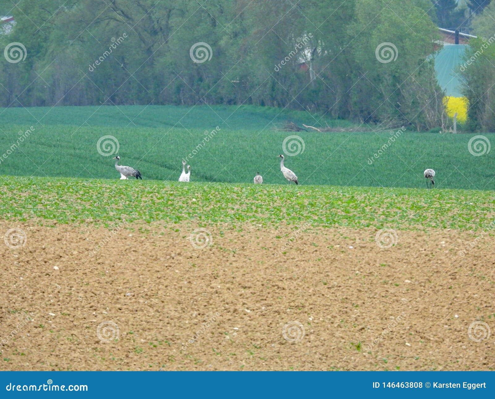 Grupo de gr?as que buscan la comida en un campo arado
