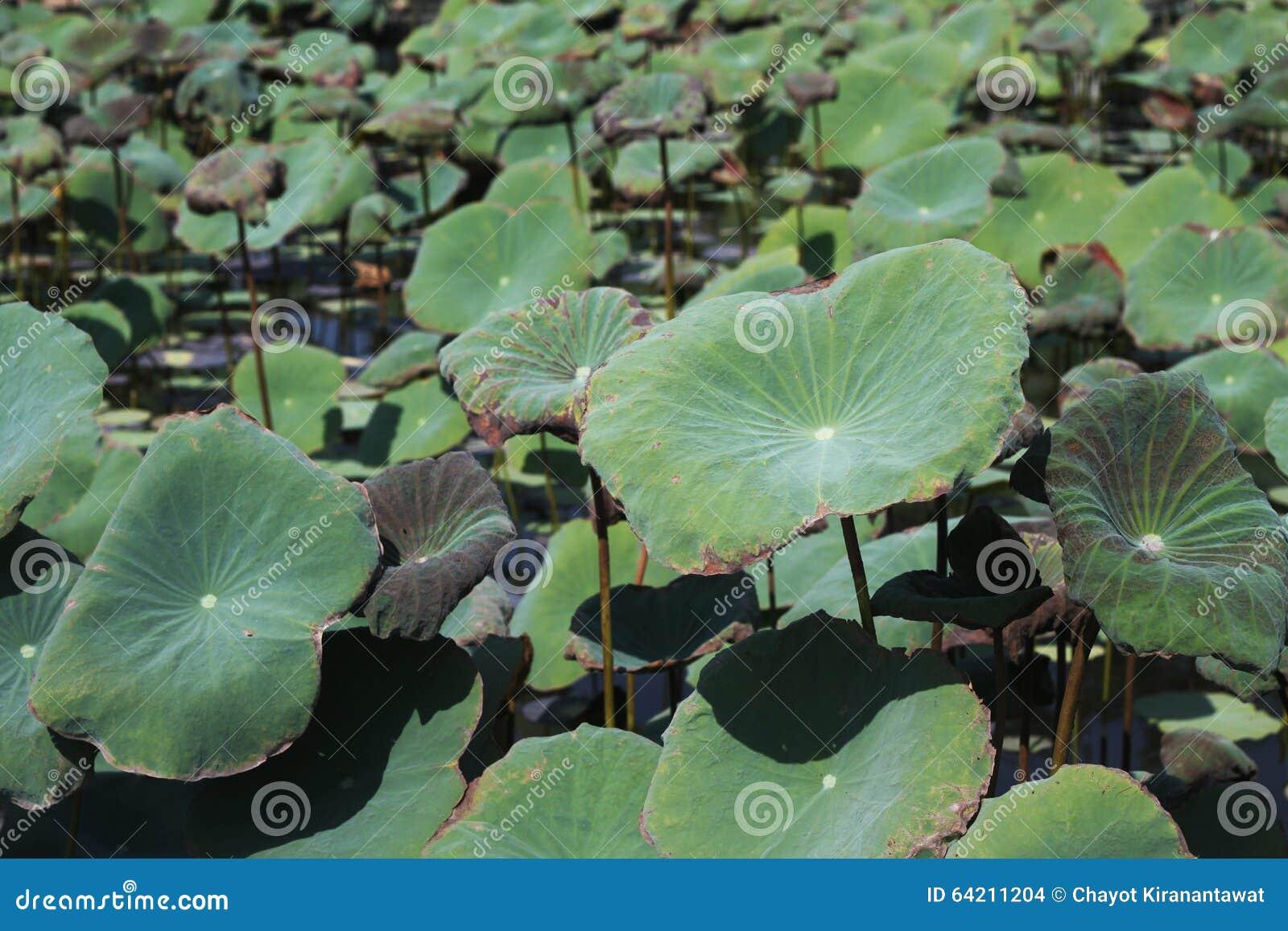 Grupo de hojas del loto en parque público