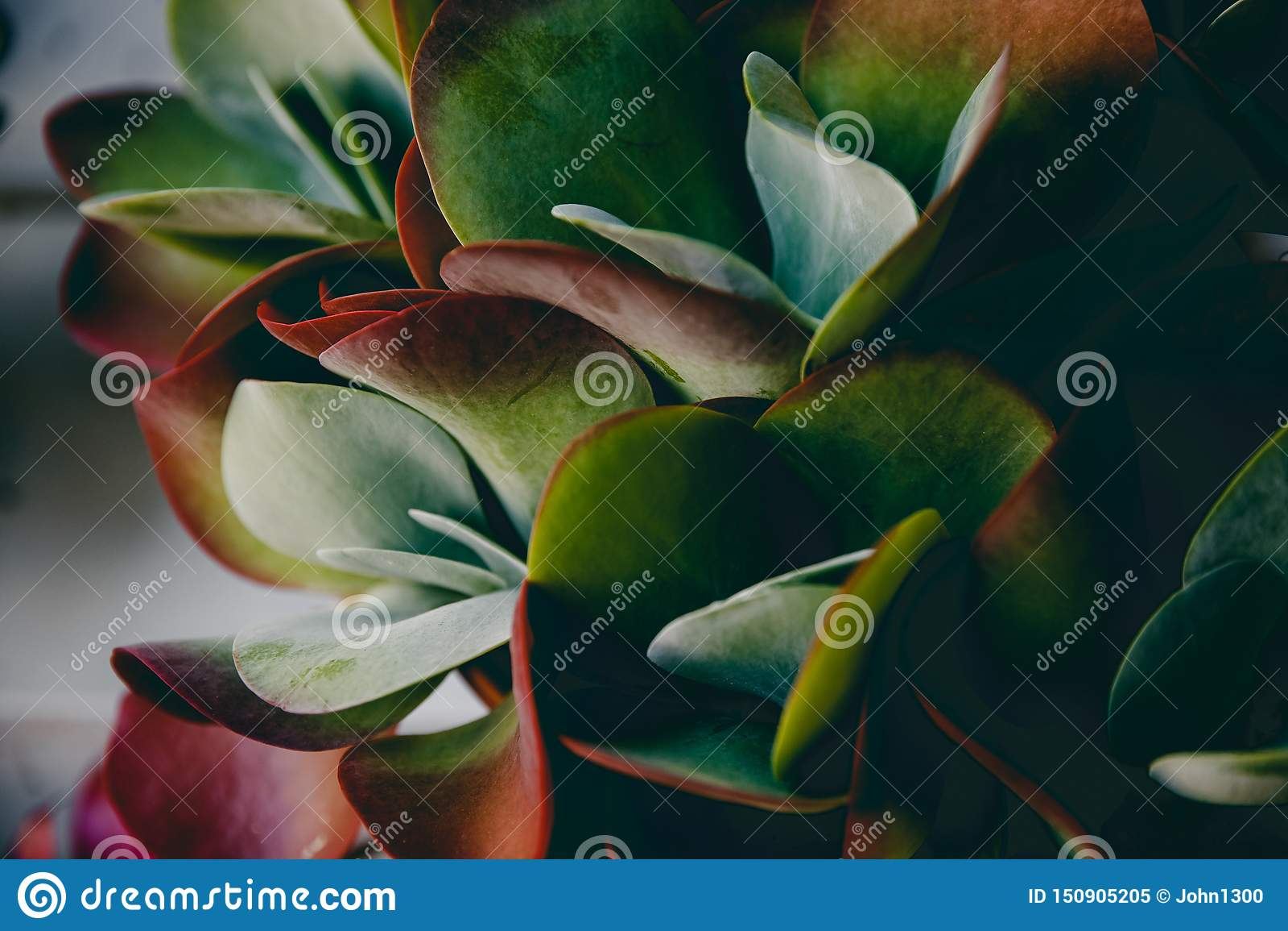 Grupo de Kalanchoe y de plantas suculentas