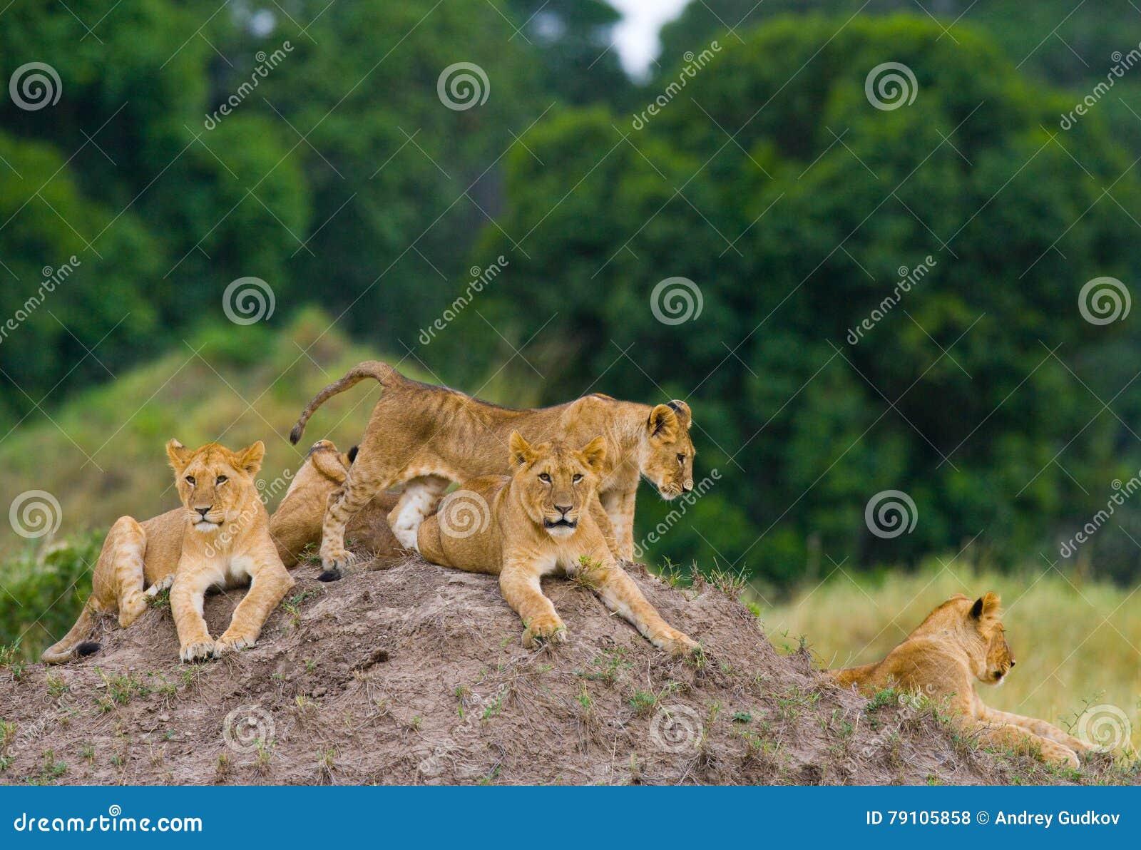 Grupo de leões novos no monte Parque nacional kenya tanzânia Masai Mara serengeti