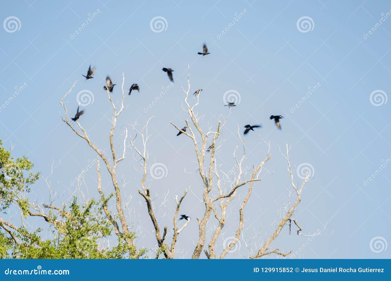 Grupo de muchos cuervos que vuelan sobre un árbol seco grande, fondo de un cielo azul claro