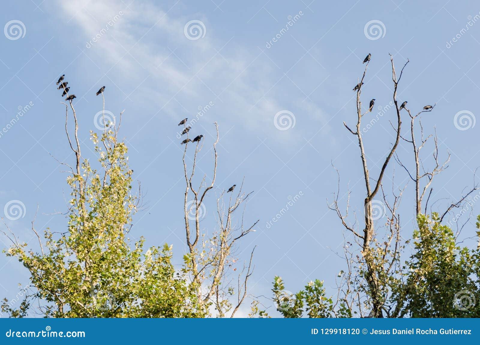 Grupo de muitos corvos pretos que estão nos ramos secos de uma grande árvore, com o fundo de um céu azul nebuloso bonito