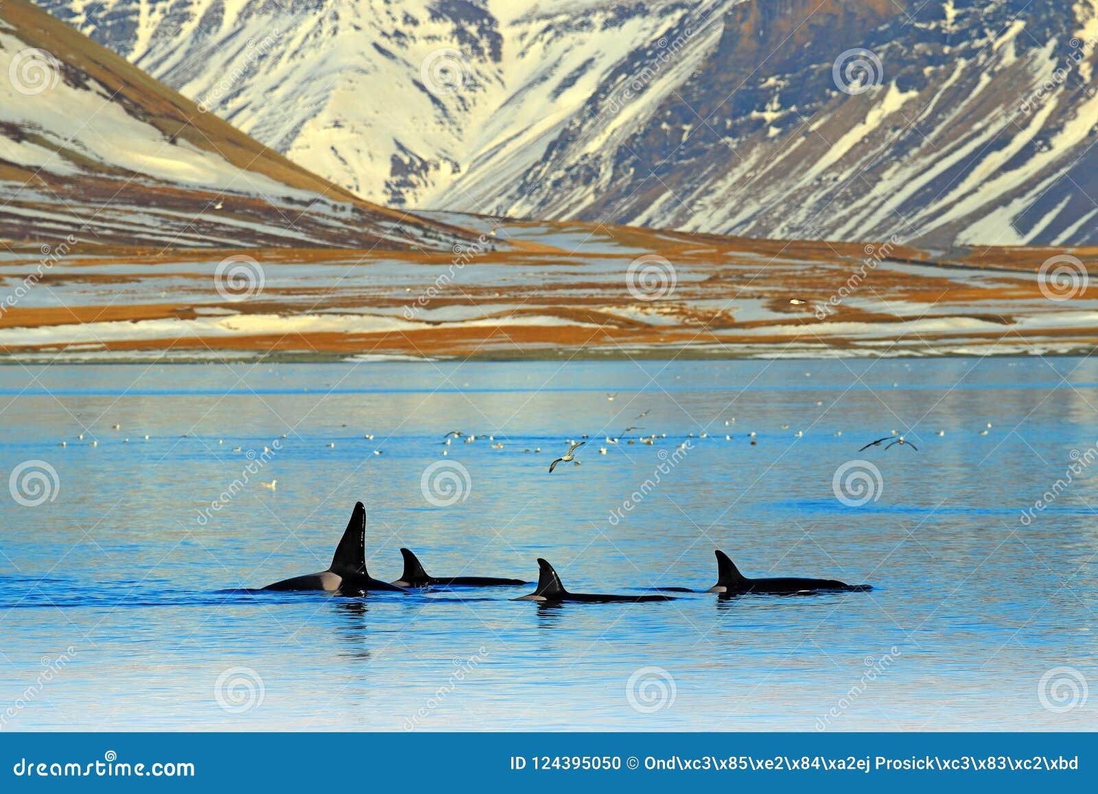 Grupo de orca cerca de la costa de la montaña de Islandia durante invierno Orca en el hábitat del agua, escena del Orcinus de la