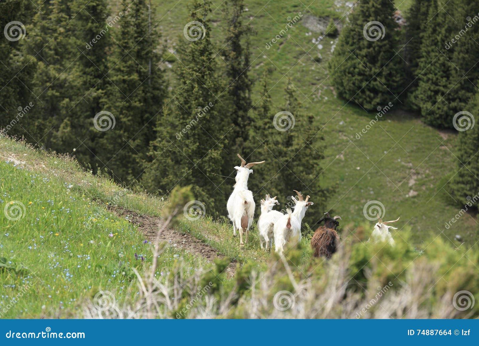 Grupo de passeio dos carneiros