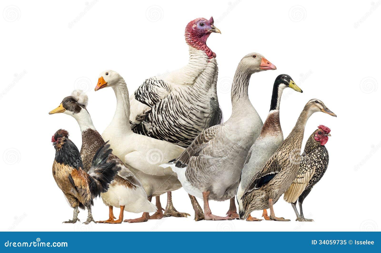 Grupo de patos, gansos e galinhas, isolados
