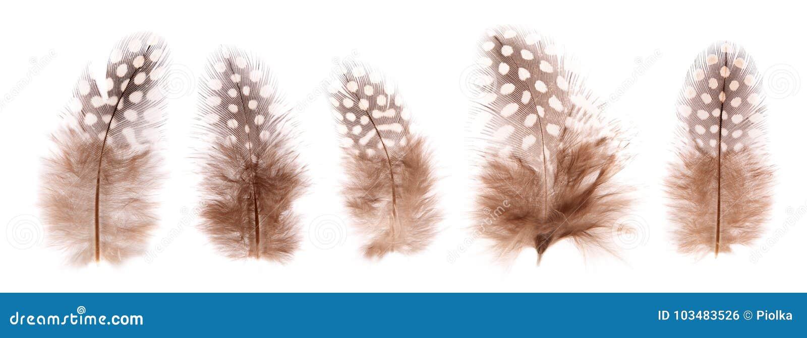 Grupo de penas de pássaro pequenas frágeis bonitas isoladas