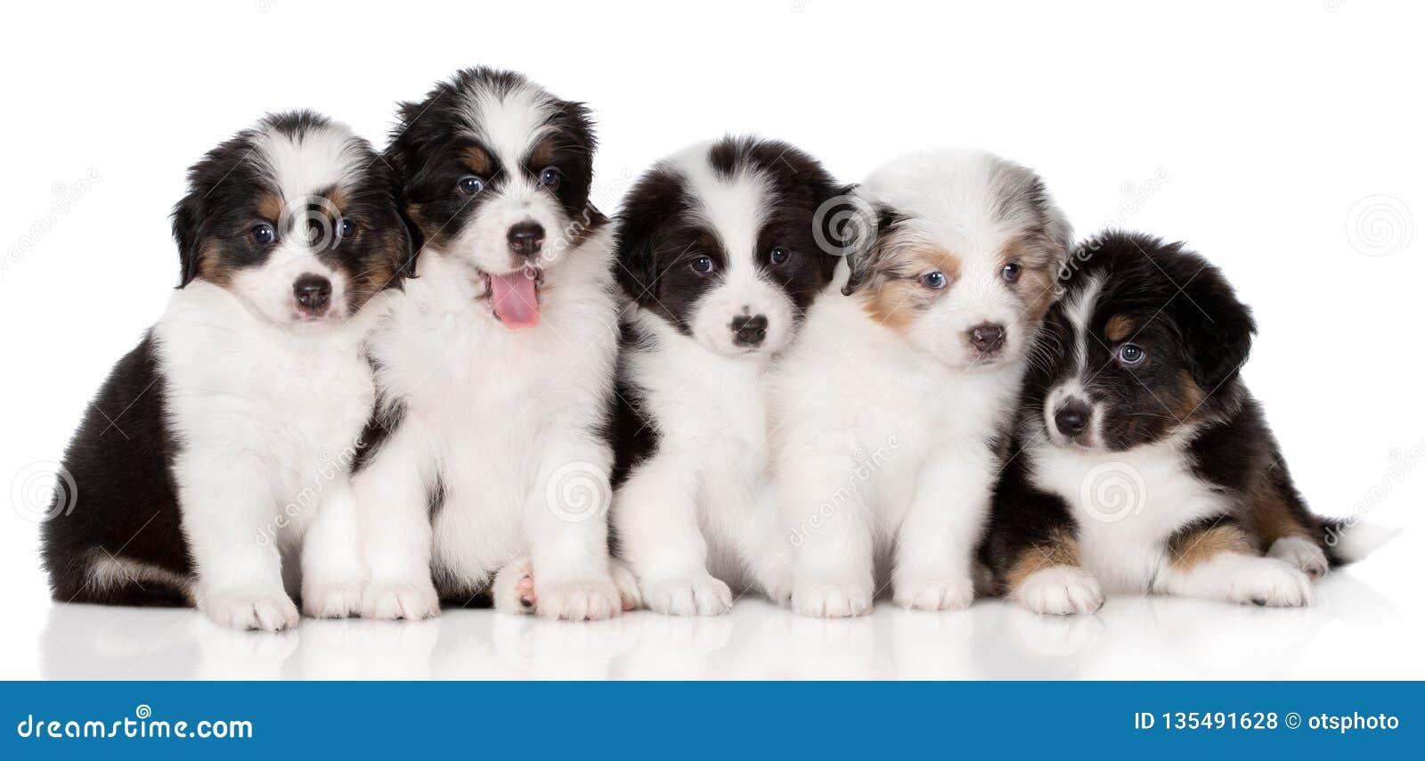 Grupo de perritos australianos del pastor que presentan en blanco