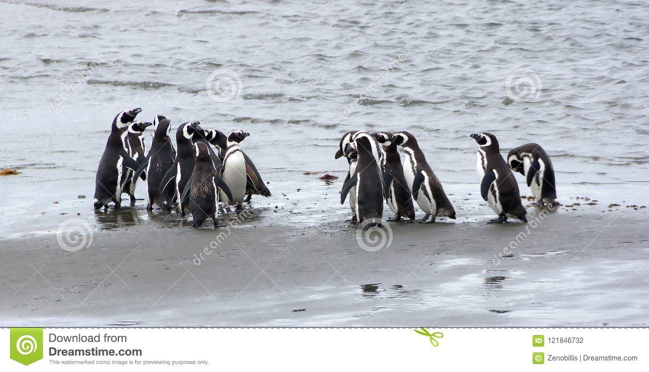 Grupo de pinguins de Magellanic na costa do oceano no Patagonia, o Chile