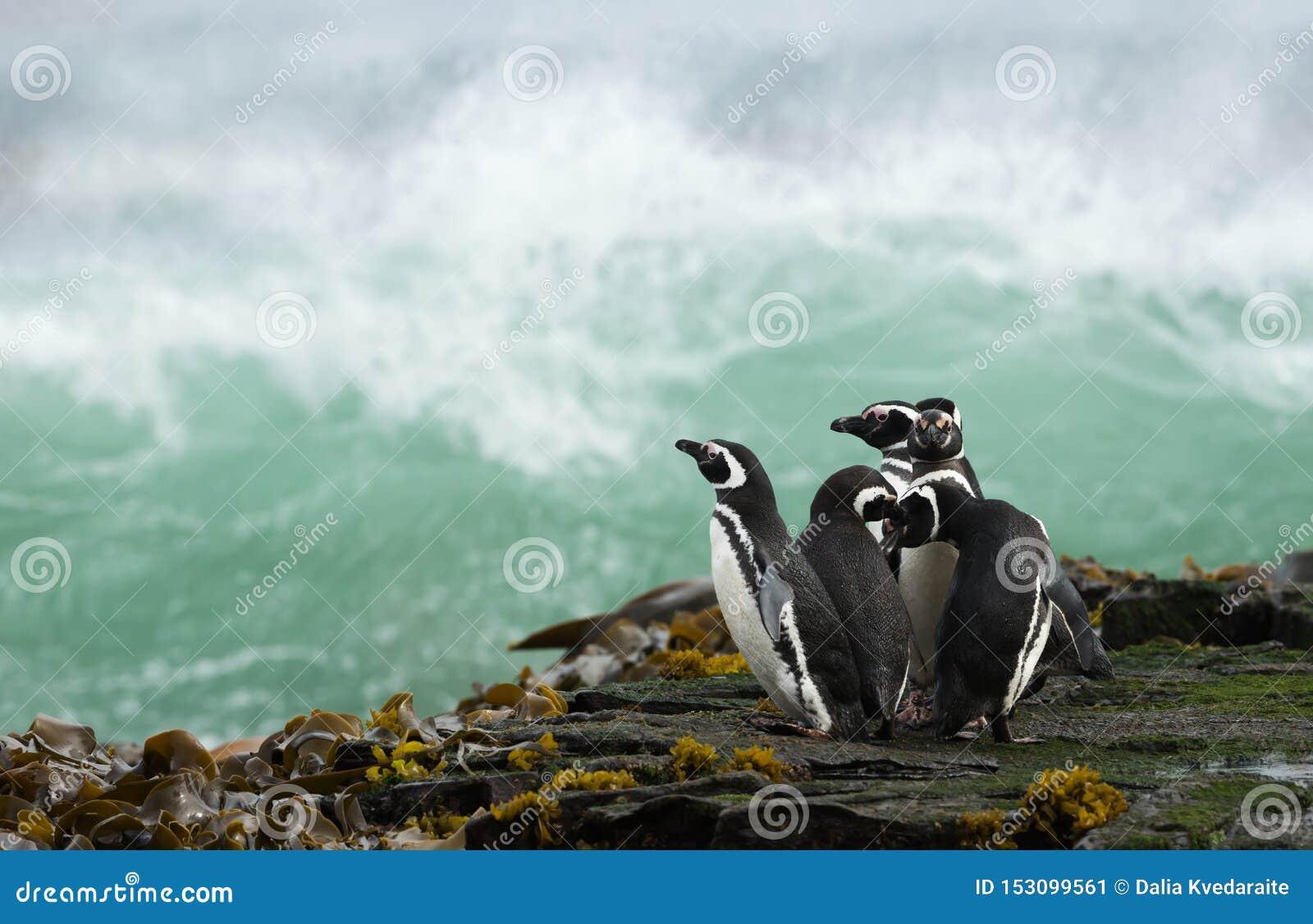 Grupo de pinguins de Magellanic que estão em uma costa e em um oceano tormentoso de observação