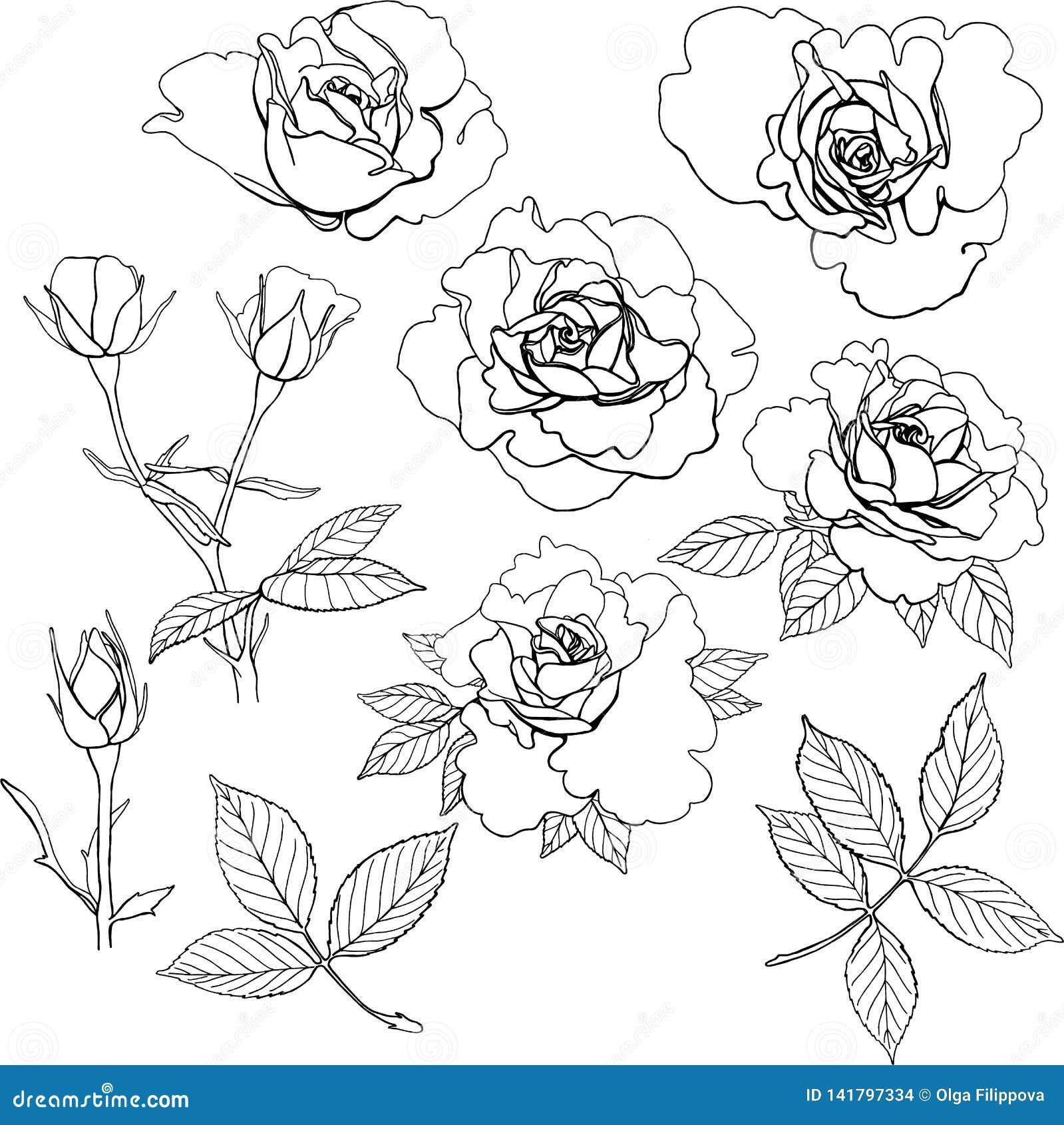 Grupo de rosas do vetor