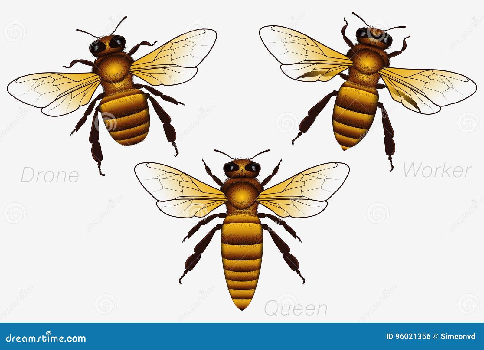 Grupo de três Honey Bees Rainha e trabalhador e zangão detalhado