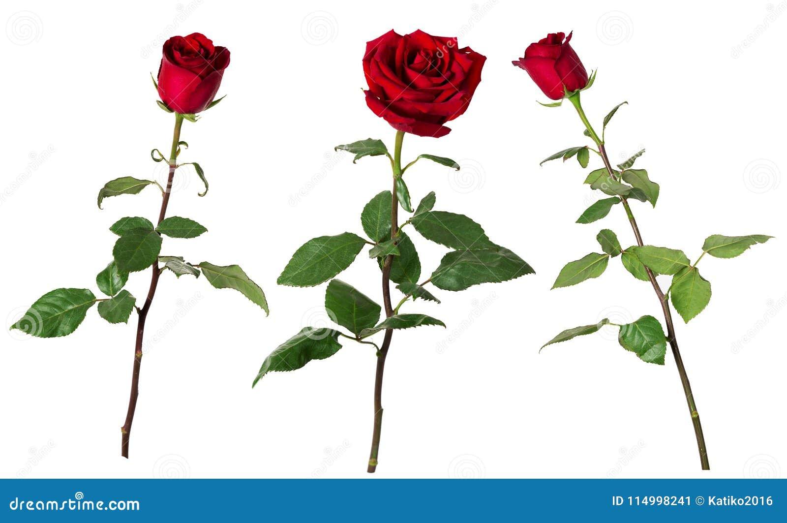 Grupo de três rosas vermelhas vívidas bonitas em hastes longas com as folhas do verde isoladas no fundo branco