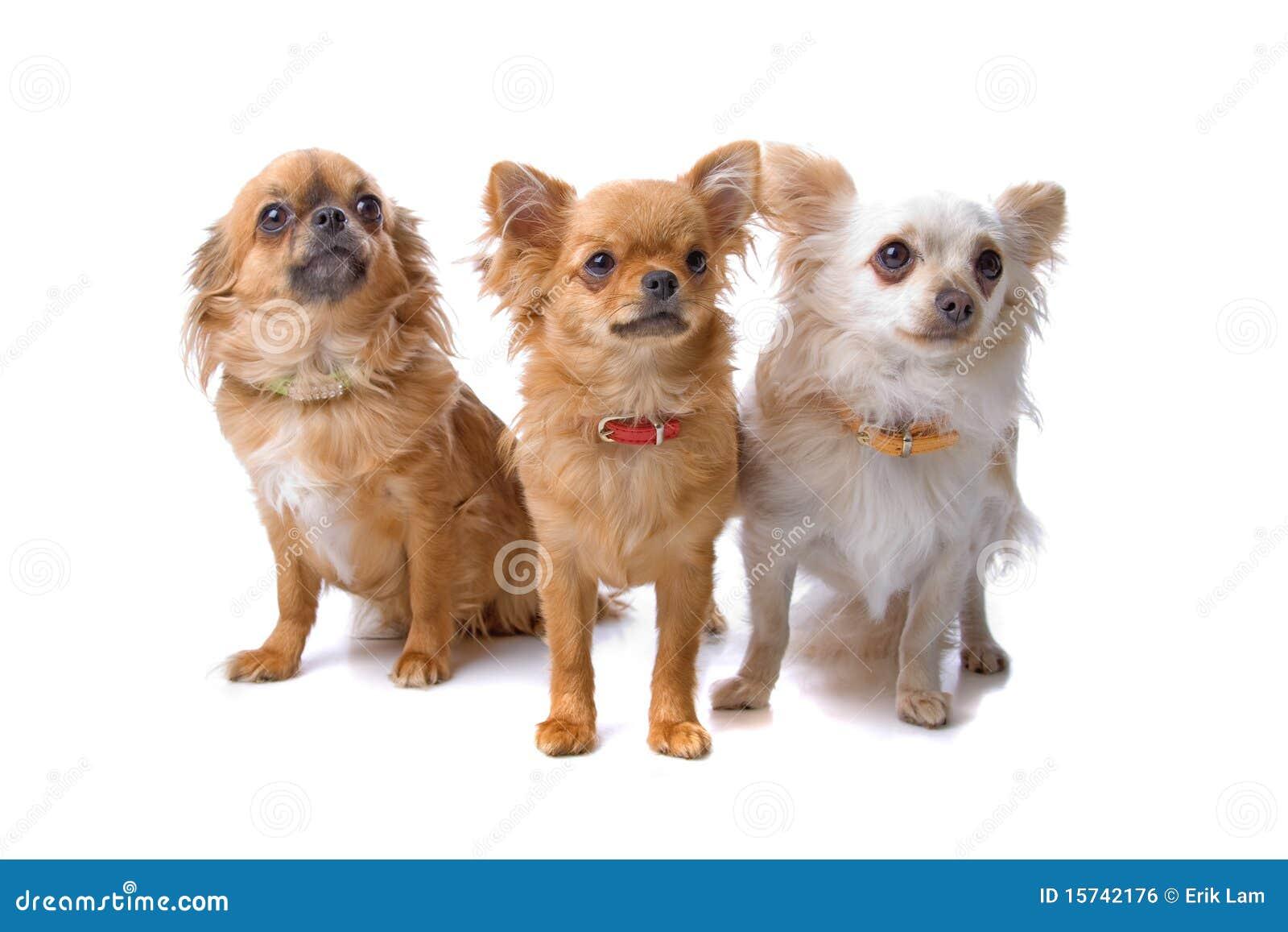 perro chihuahua fondo de - photo #25
