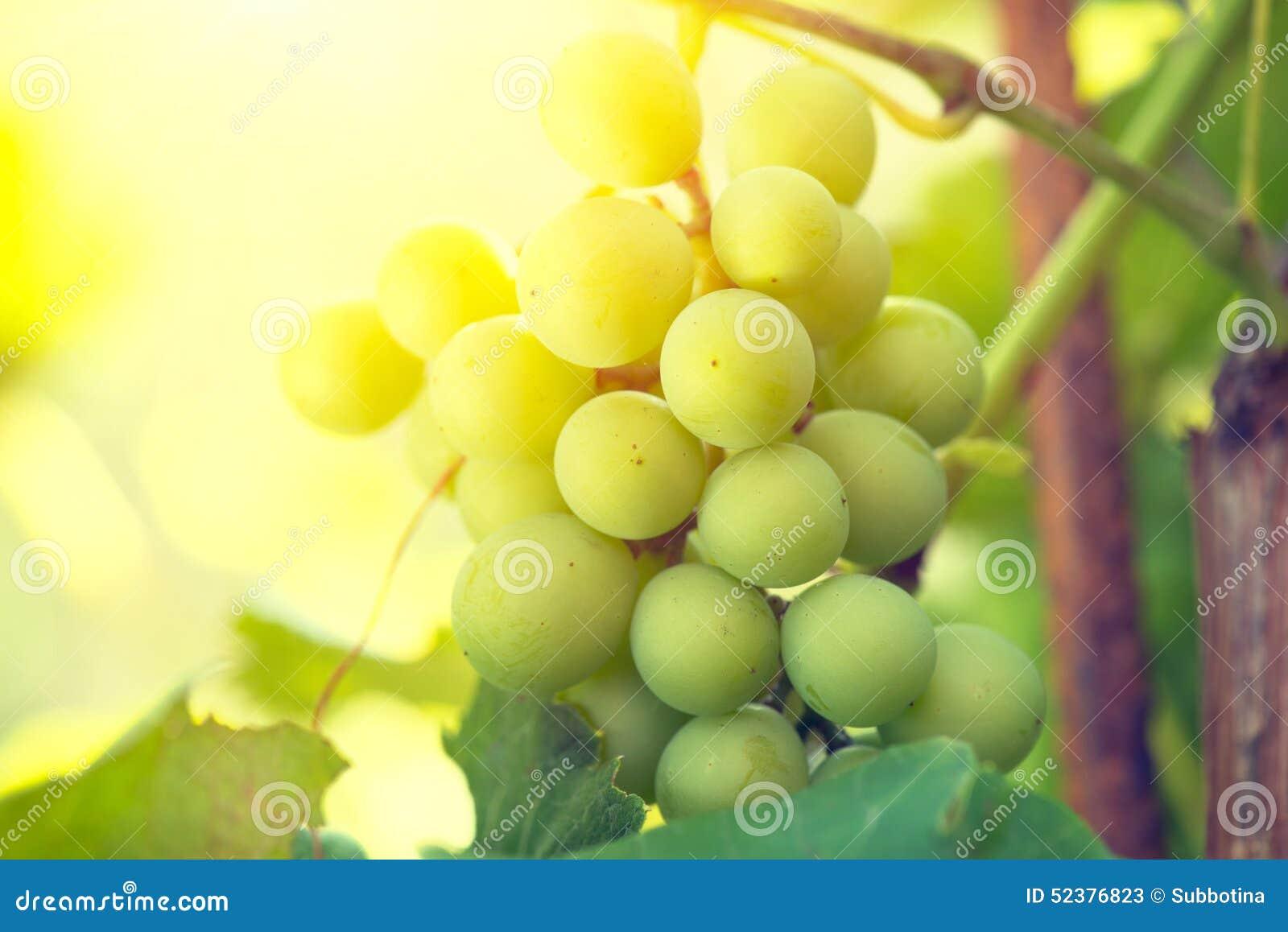 Grupo de uvas na vinha