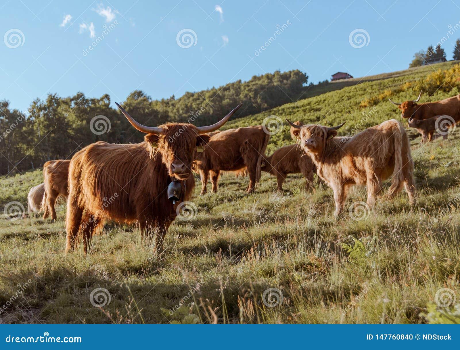 Grupo de vaca das montanhas em uma pradaria que olha à câmera