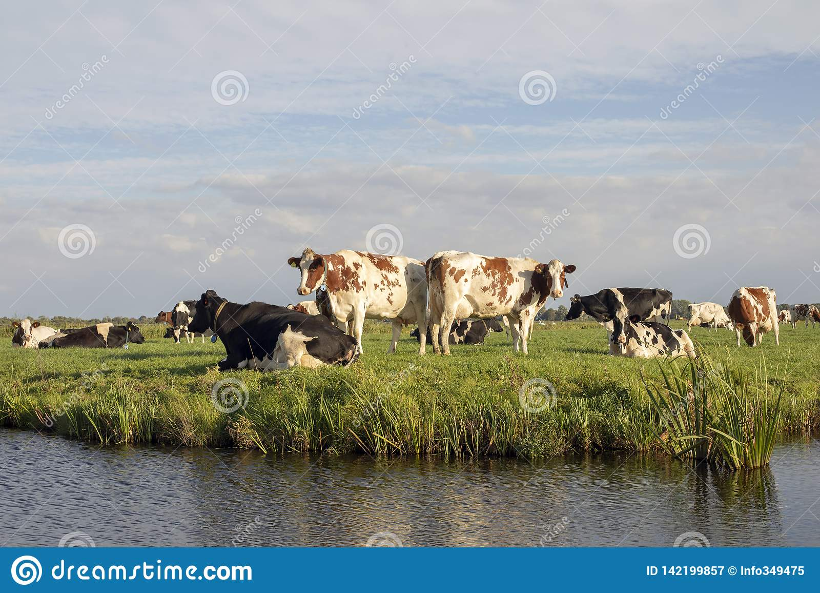 Grupo de vacas na borda de uma vala, em uma paisagem holandesa típica com as nuvens no horizonte