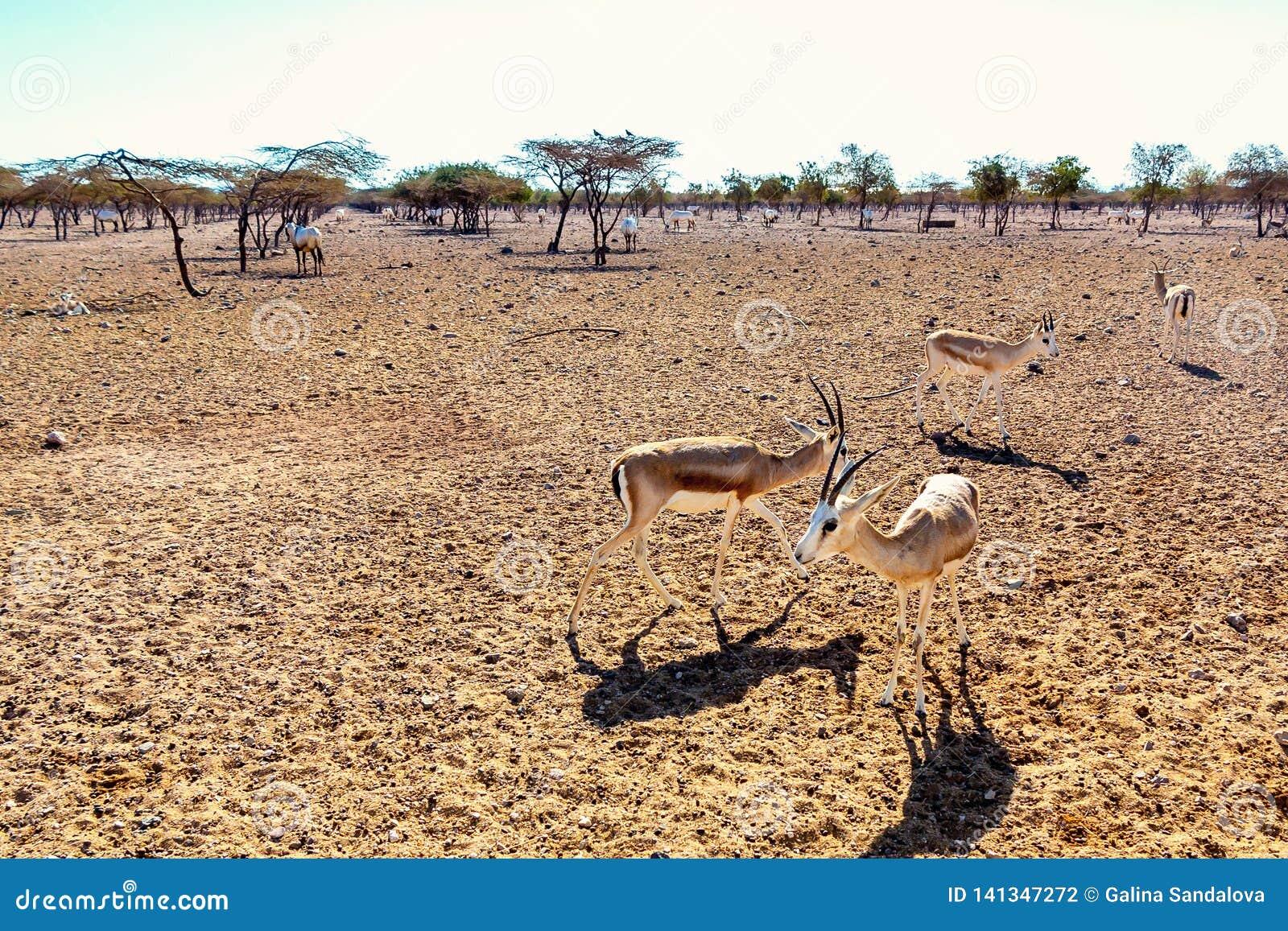 Grupo del antílope en un parque del safari en la isla de Sir Bani Yas, United Arab Emirates
