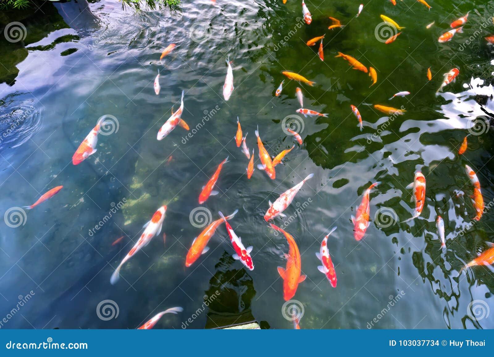 Grupo do movimento de peixes coloridos do koi na água clara