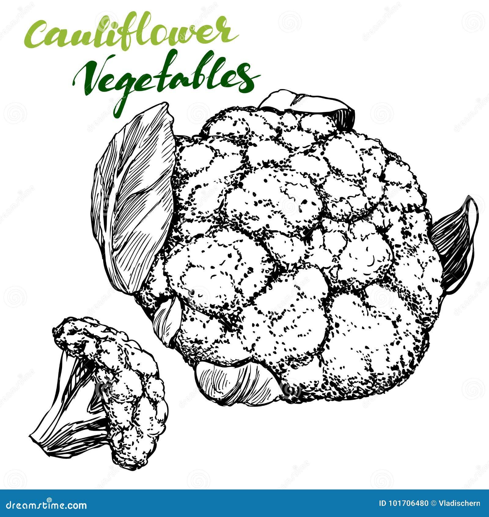 Grupo do vegetal da couve-flor Detalhado gravado Esboço realístico tirado mão da ilustração do vetor do vintage