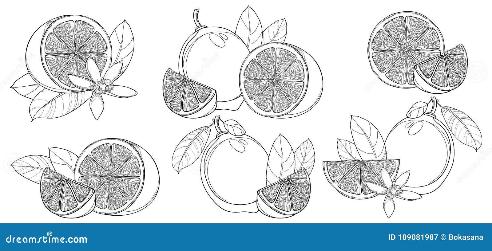 Grupo do vetor com o cal do esboço isolado no fundo branco Contorne o meios e fruto, fatia, folha e flor inteiros do cal no preto