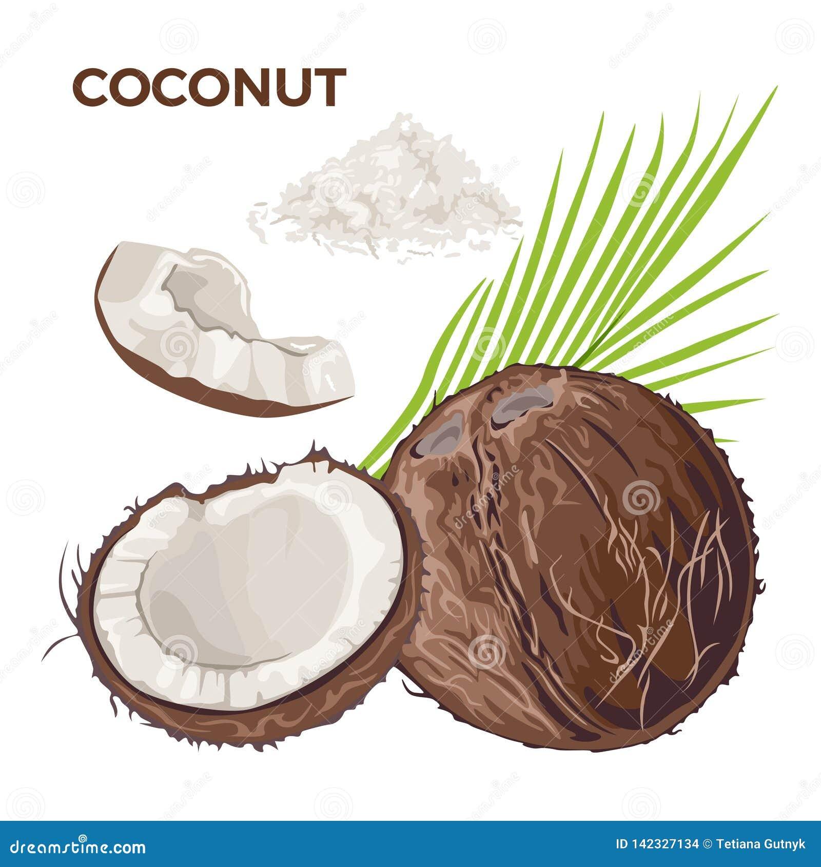 Grupo do vetor de coco inteiro, de metade e de parte, flocos do coco, folha de palmeira