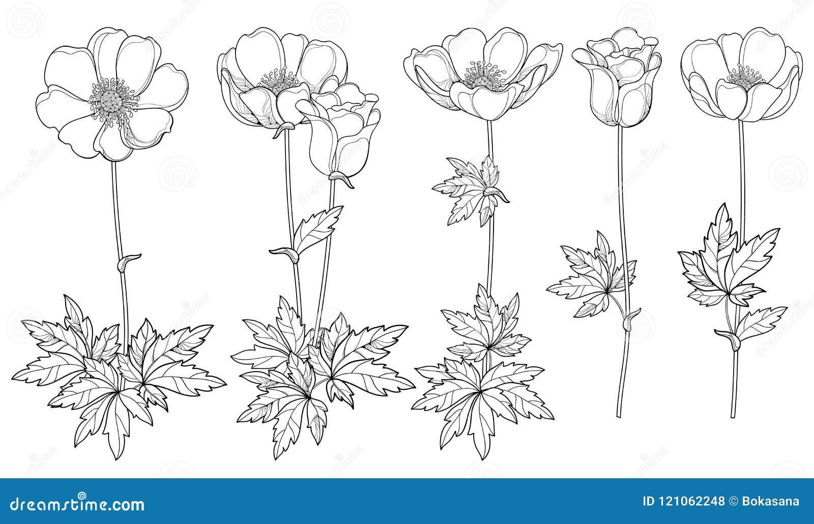 Grupo do vetor de flor ou Windflower da anêmona do esboço do desenho da mão, botão e folha no preto isolada no fundo branco
