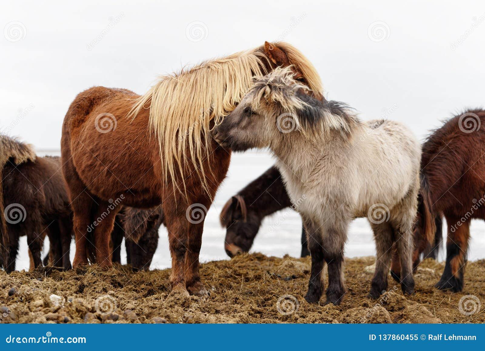 Grupo dos cavalos de Islândia