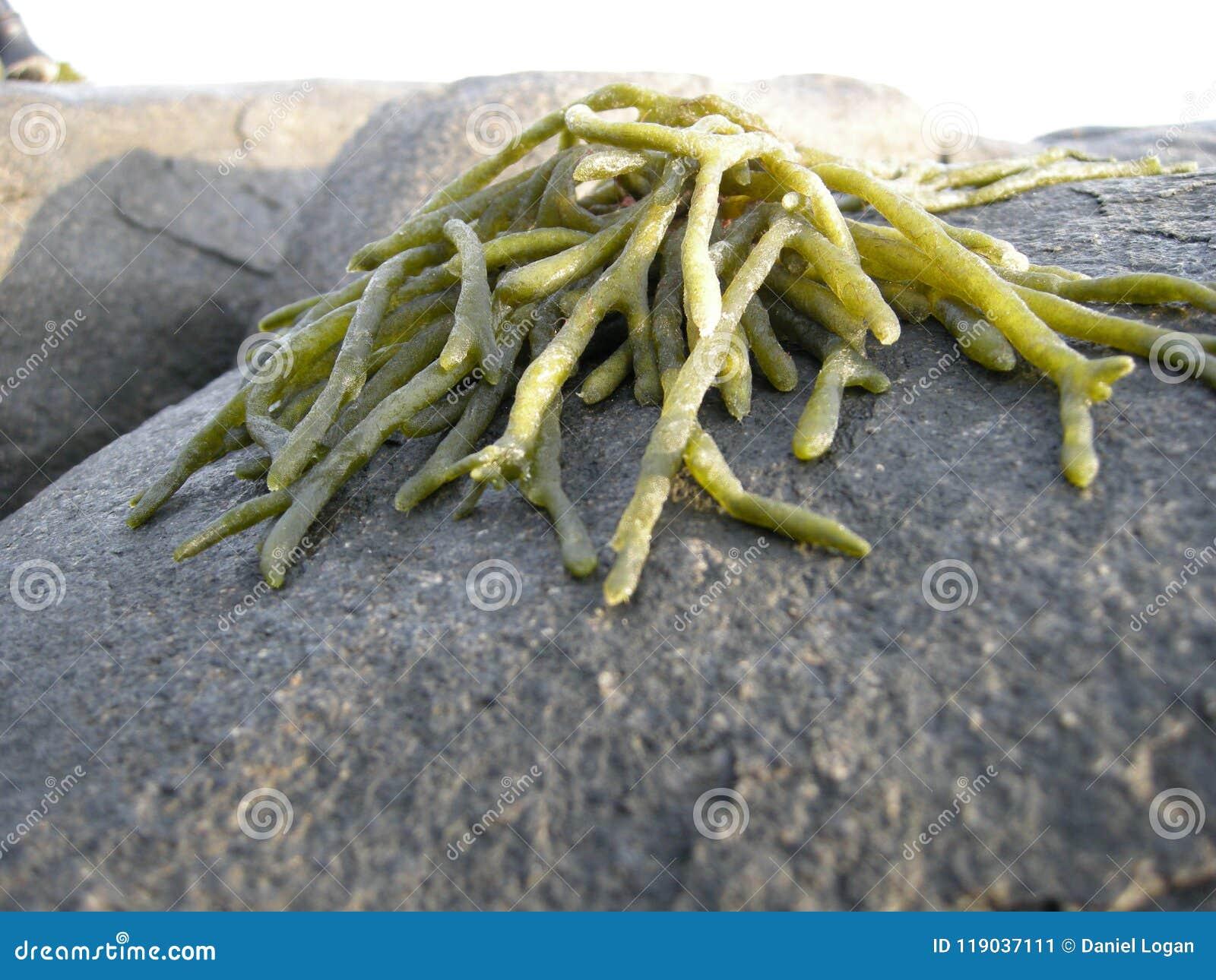 Grupo grosso de alga encalhado pela maré