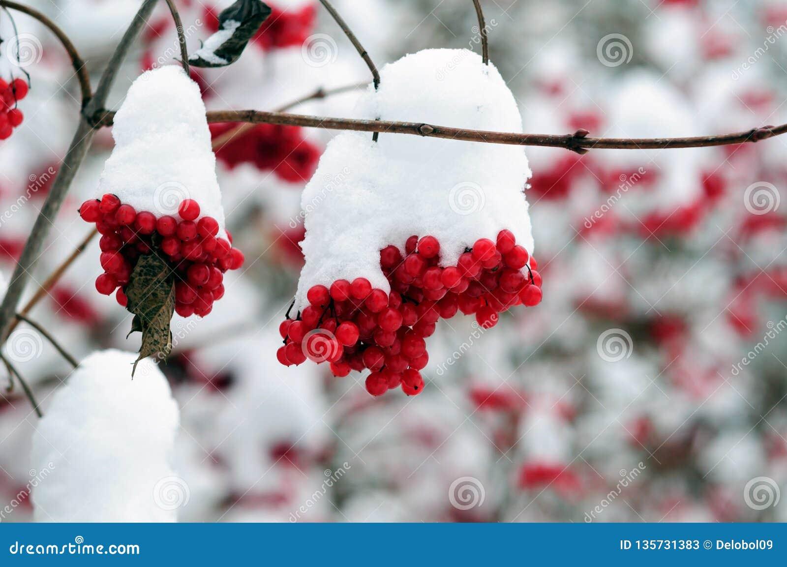 Grupos cobertos de neve de bagas vermelhas do viburnum no wintergarden