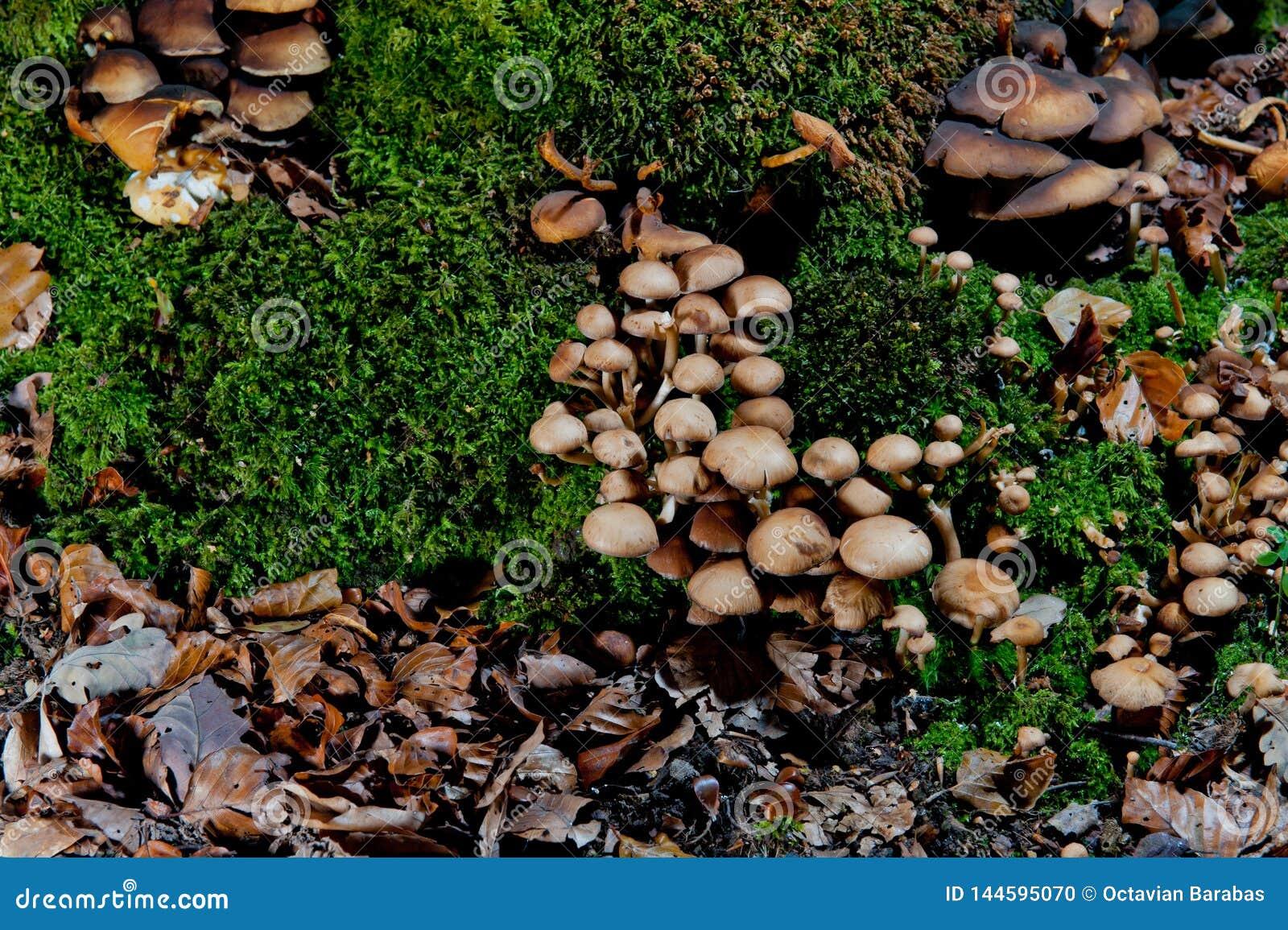 Grupos de setas marrones en musgo en bosque
