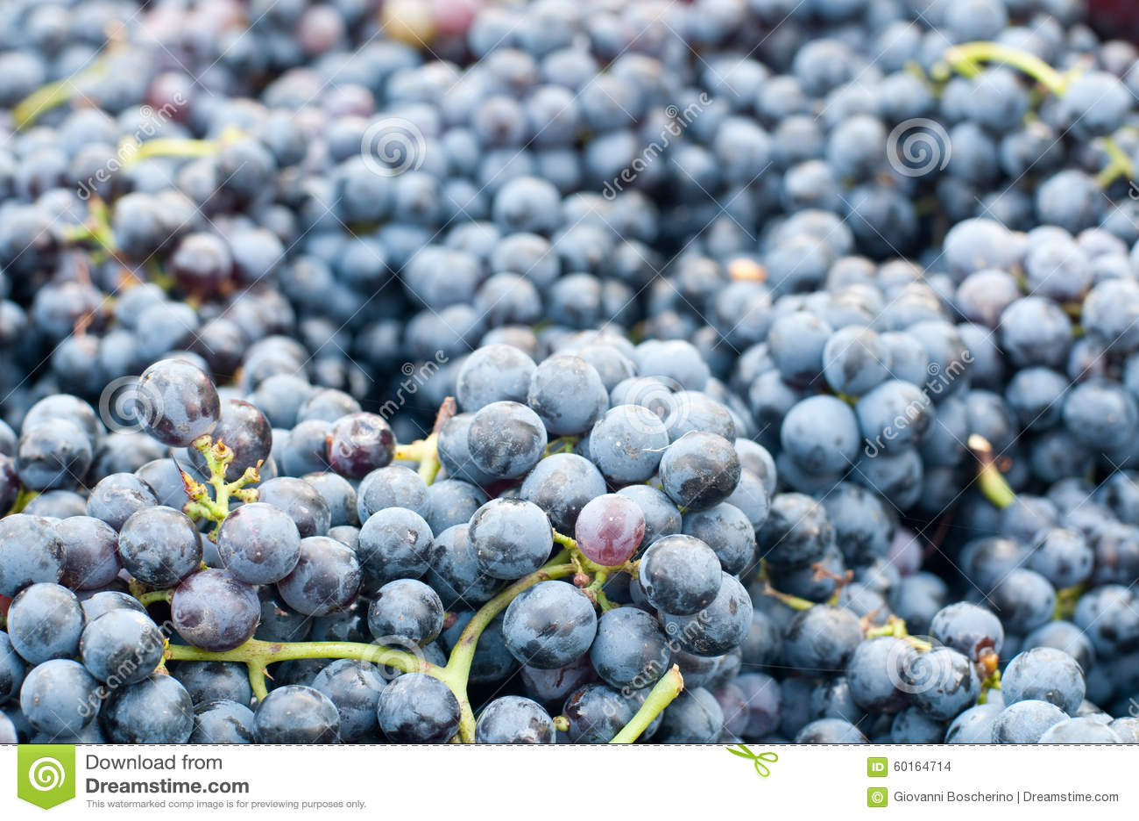 Grupos de uvas Lambrusco, uma uva italiana típica