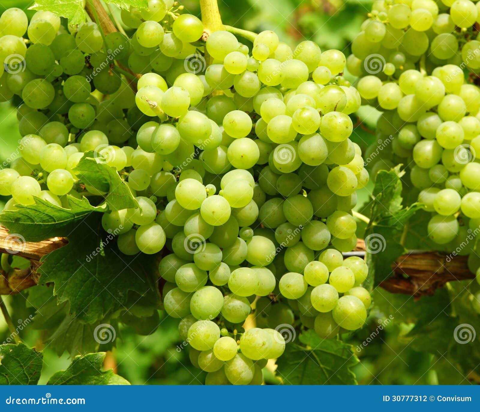 Grupos de uvas verdes