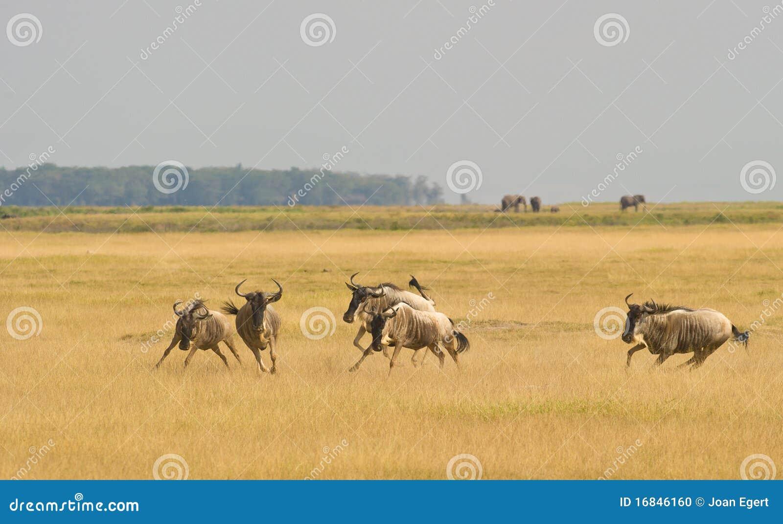 Grupowy bawić się działający wildebeest