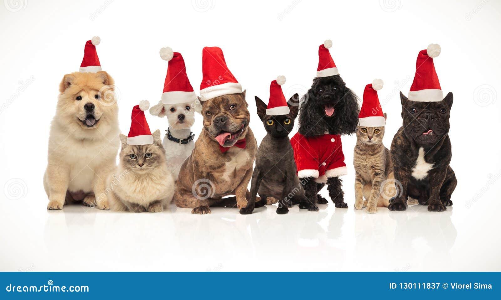 Grupp av åtta förtjusande santa katter och hundkapplöpning med dräkter
