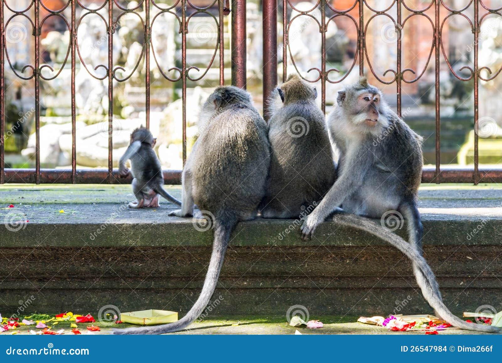 Grupp av apor som baksidt sitter till kameran