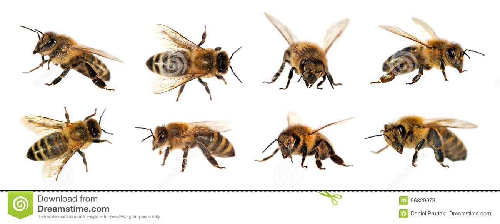 Grupp av biet eller honungsbit på vit bakgrund, honungbin