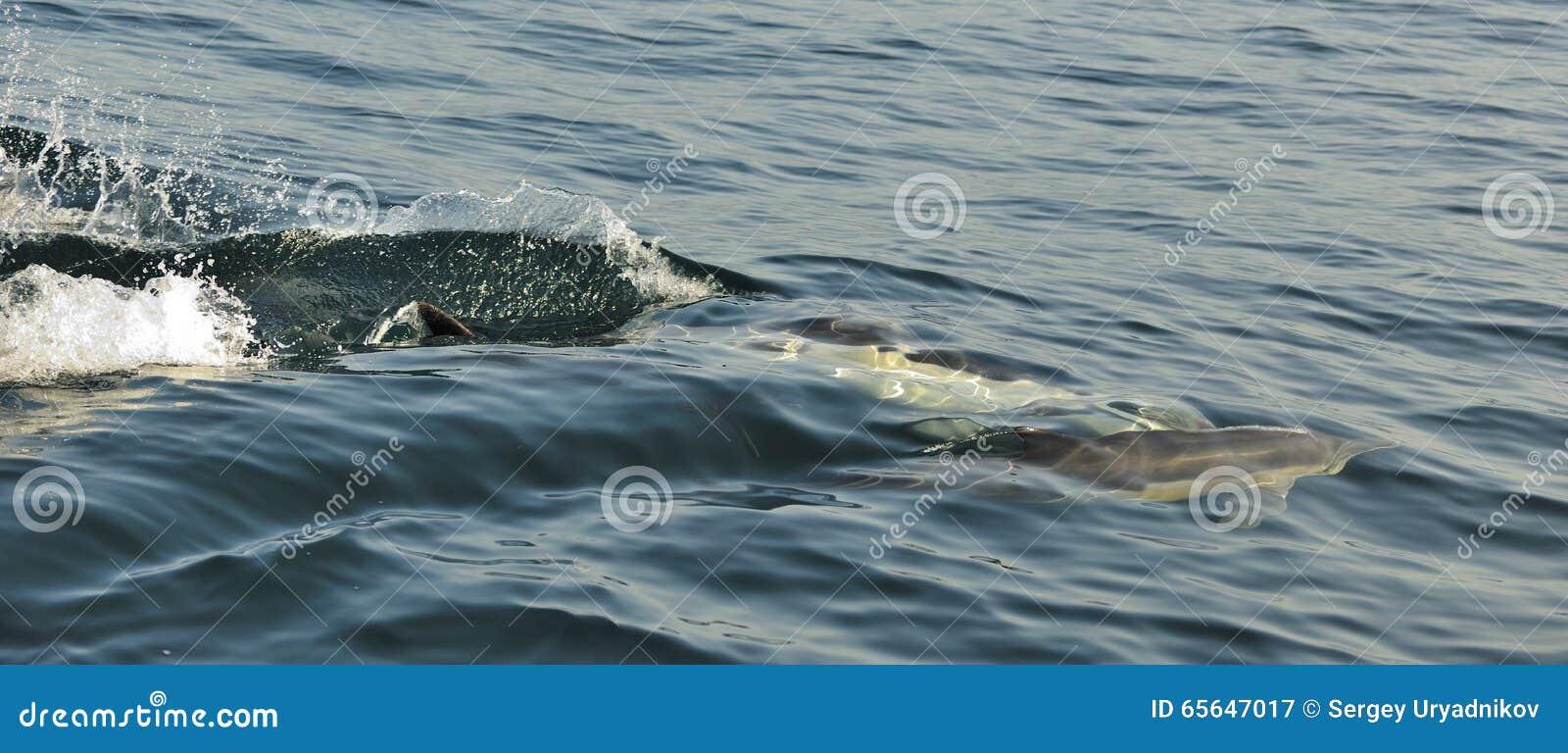 Grupp av delfin som simmar i havet och jagar för fisk