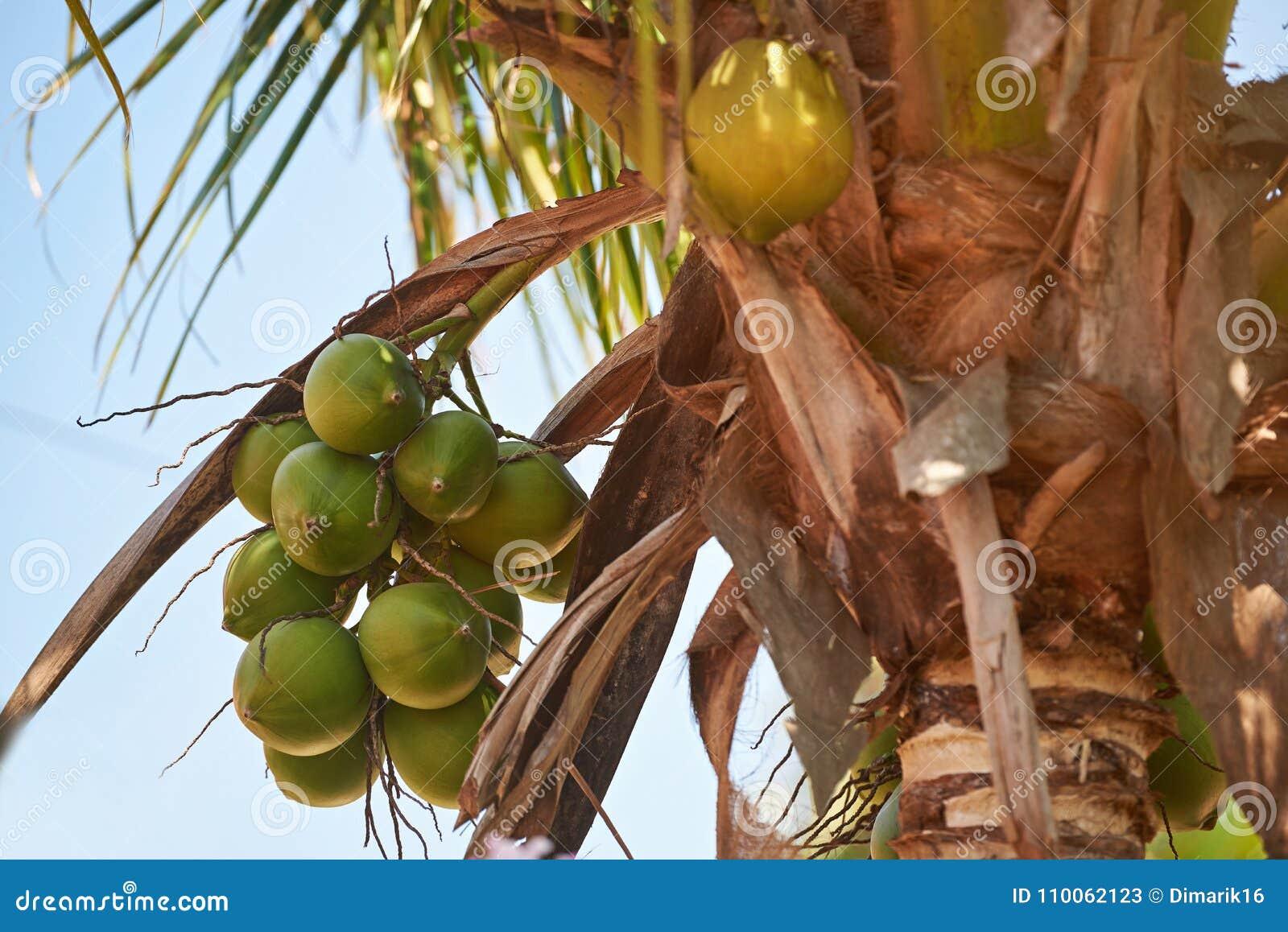 Grupp av den gröna kokosnöten