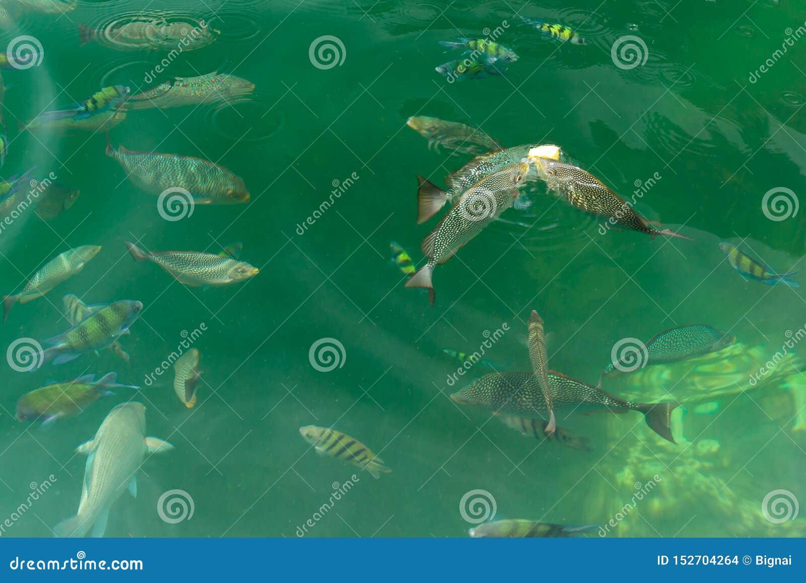 Grupp av fisken som äter mat i havssikten på fartyget