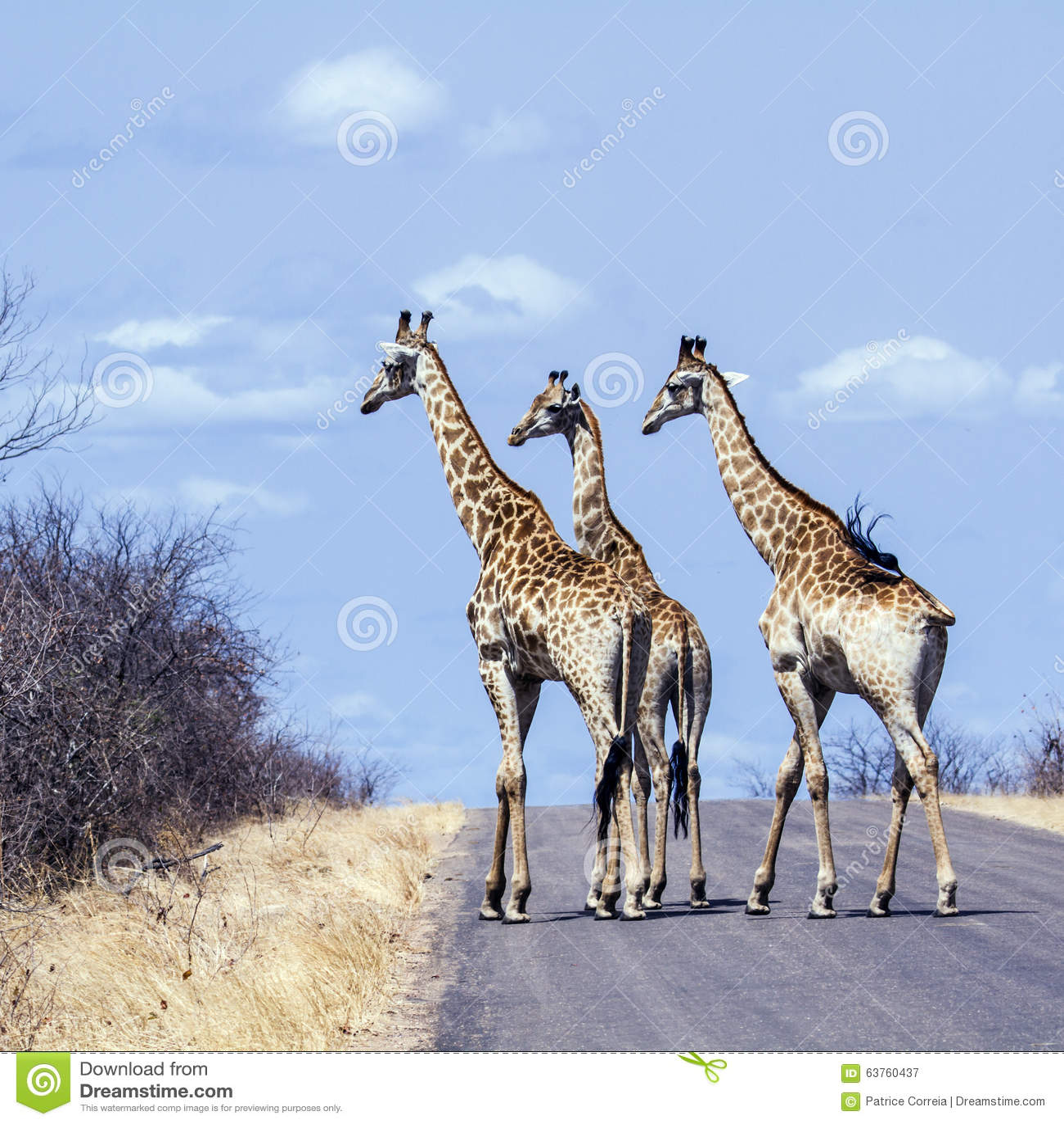 Grupp av giraff i den Kruger nationalparken, i vägen, Sydafrika
