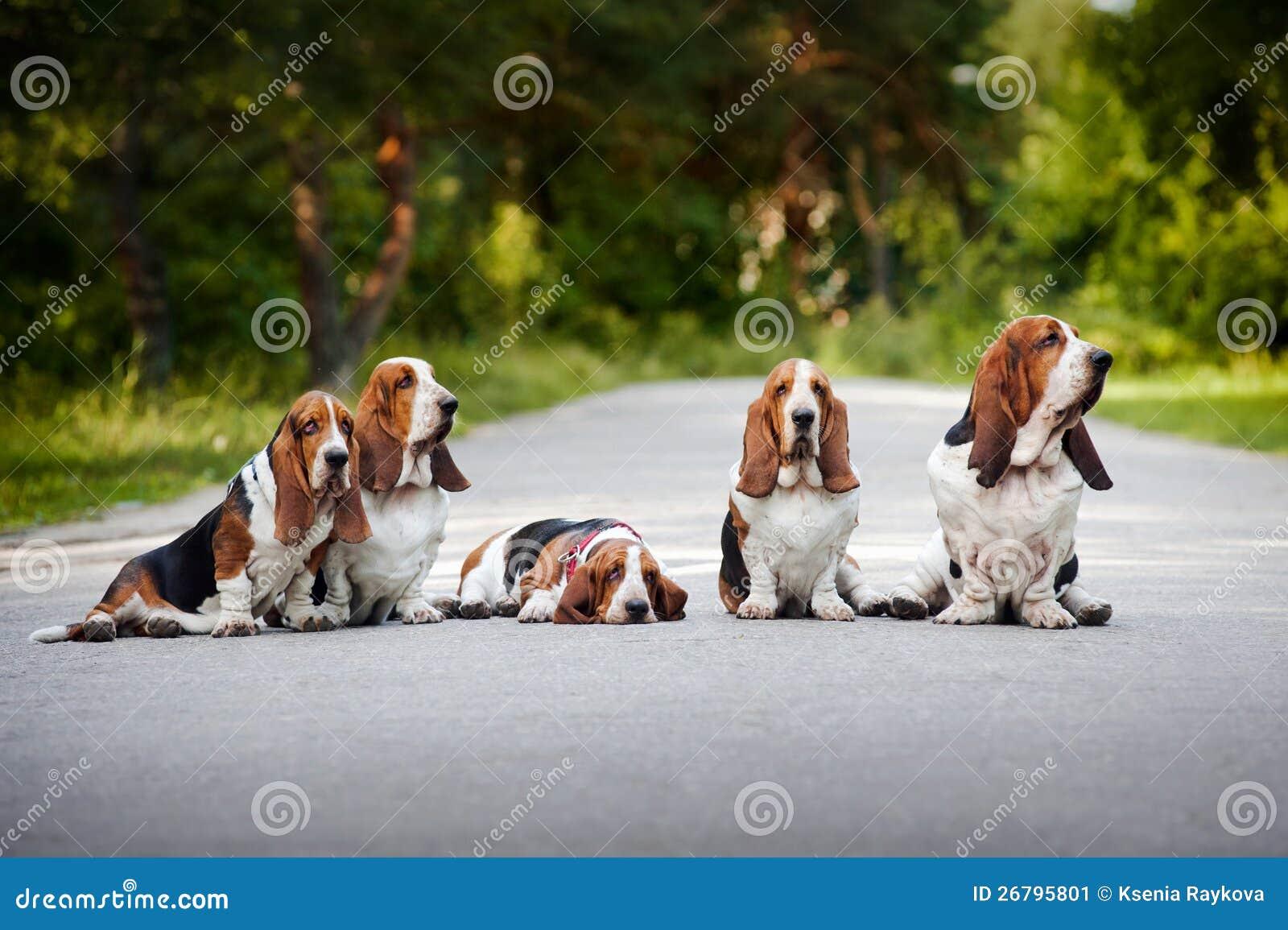 Grupp av hundbassethund