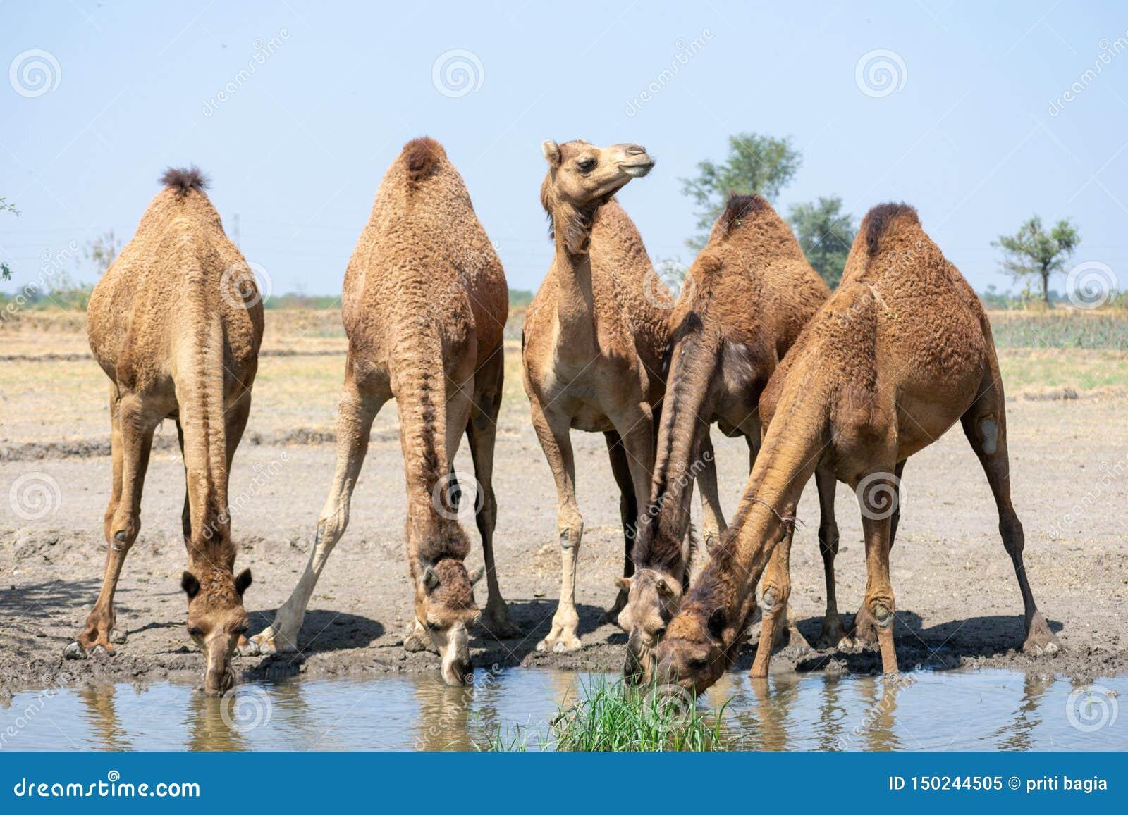 Grupp av kamelfotoet