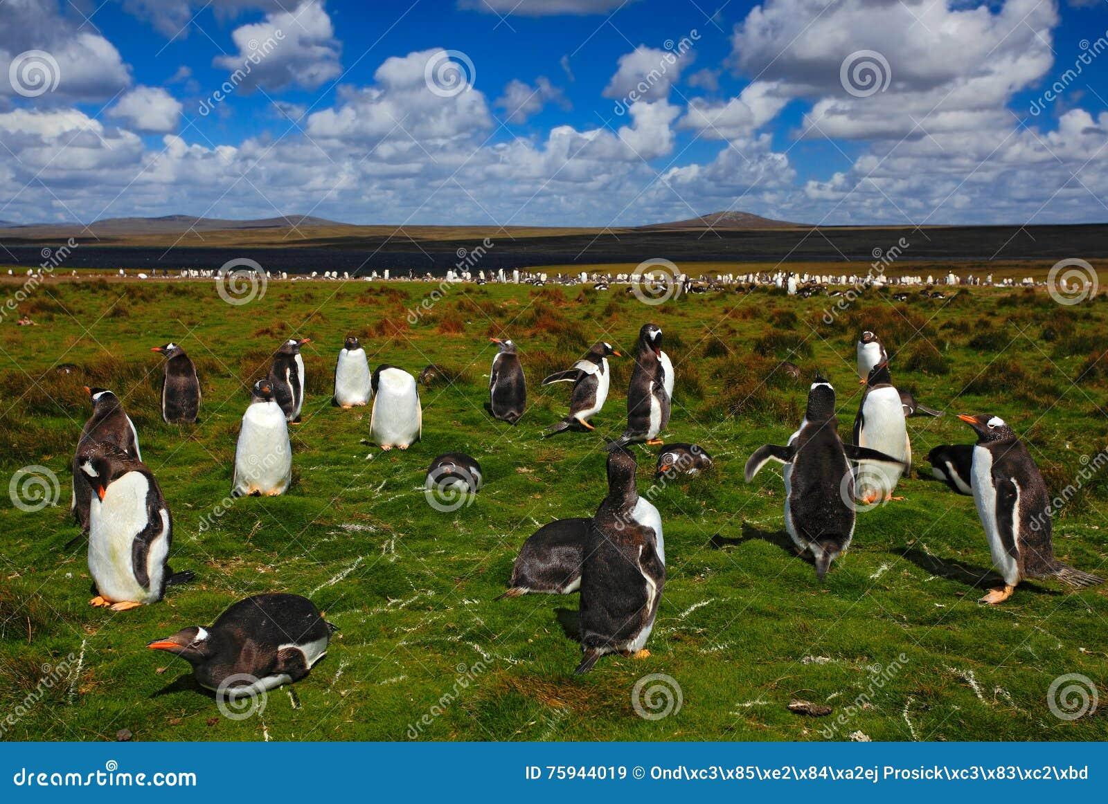 Grupp av konungpingvin i det gröna gräset Gentoo pingvin med blå himmel med vita moln Pingvin i naturlivsmiljön _