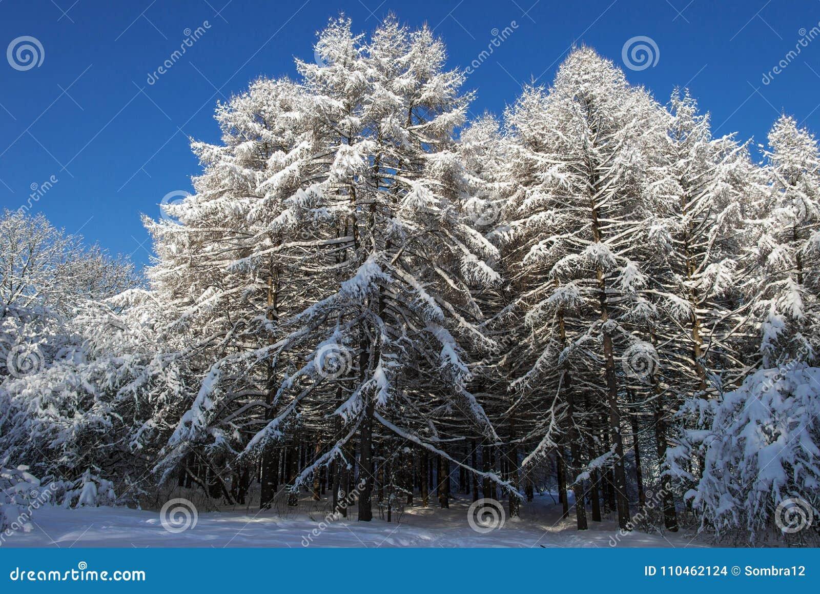 Grupp av lärkträd som täckas med snö