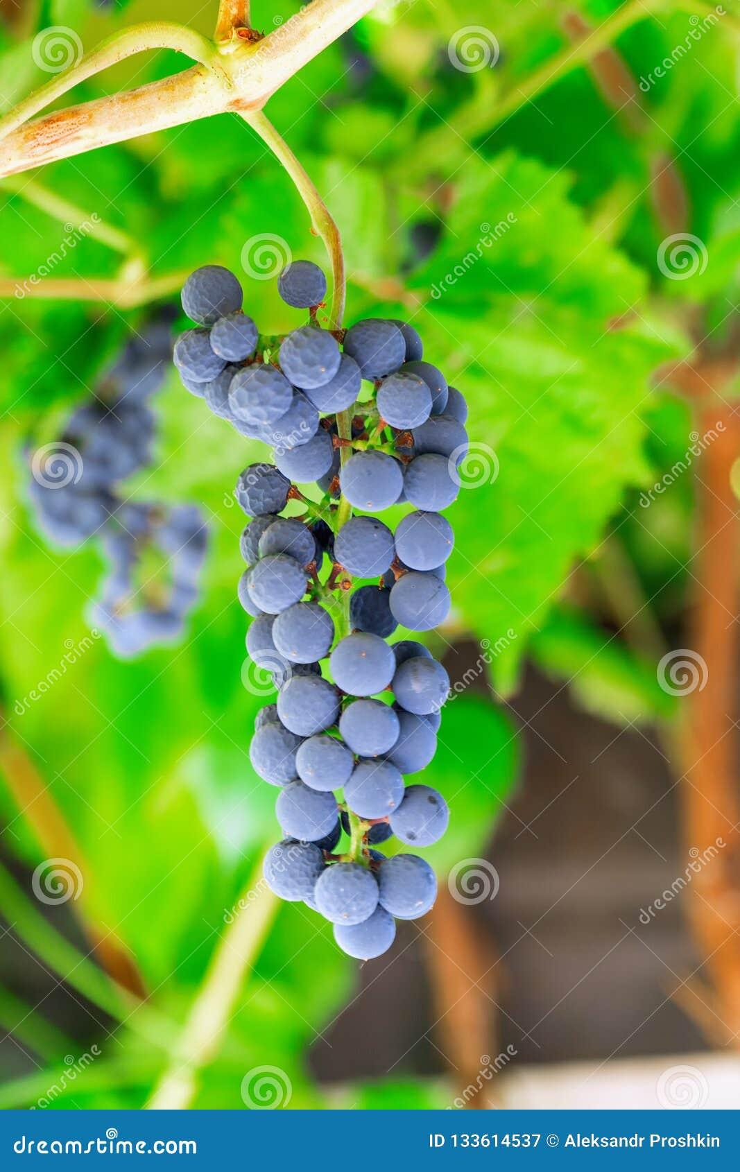 Grupp av lila druvor i vingård