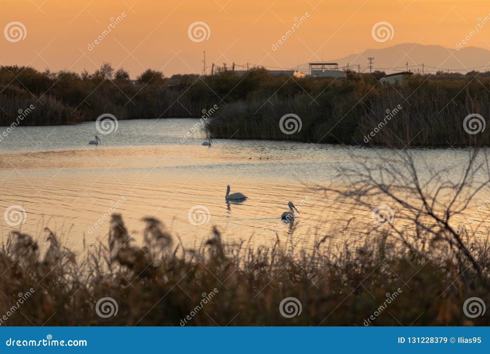 Grupp av pelikan som simmar i Vistonida sjön, Rodopi, Grekland under solnedgång